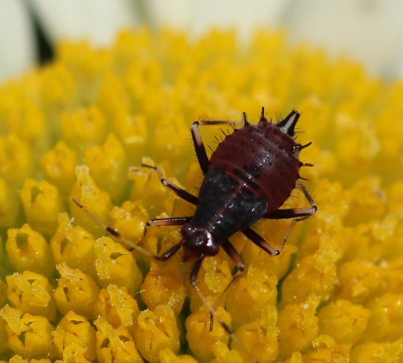 [Deraeocoris ruber_Juvénile] Petite larve ? Img_4211