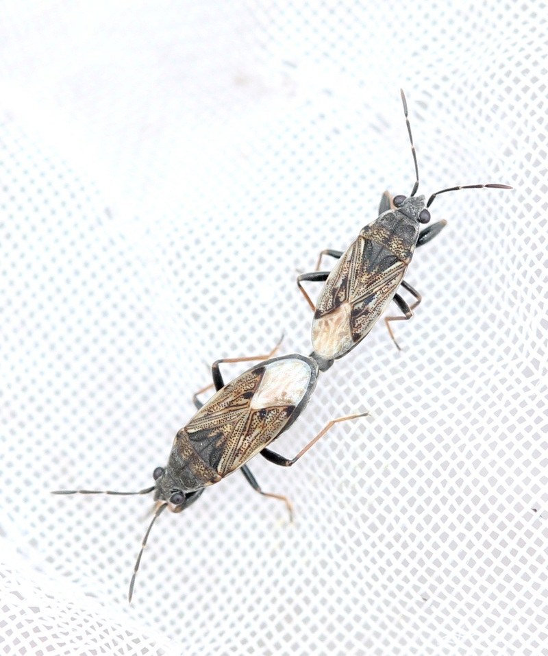 [Peritrechus gracilicornis] accouplement de Peritrechus gracilicornis ? Img_4514