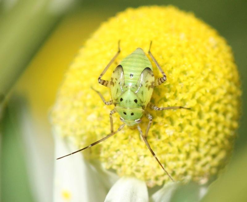 [Lygus sp._Juvénile]Autre larve sur matricaire Img_5213