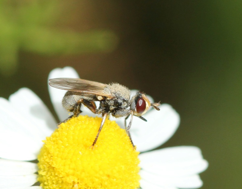 [Thecophora sp.] mouche grisonnante Img_5411