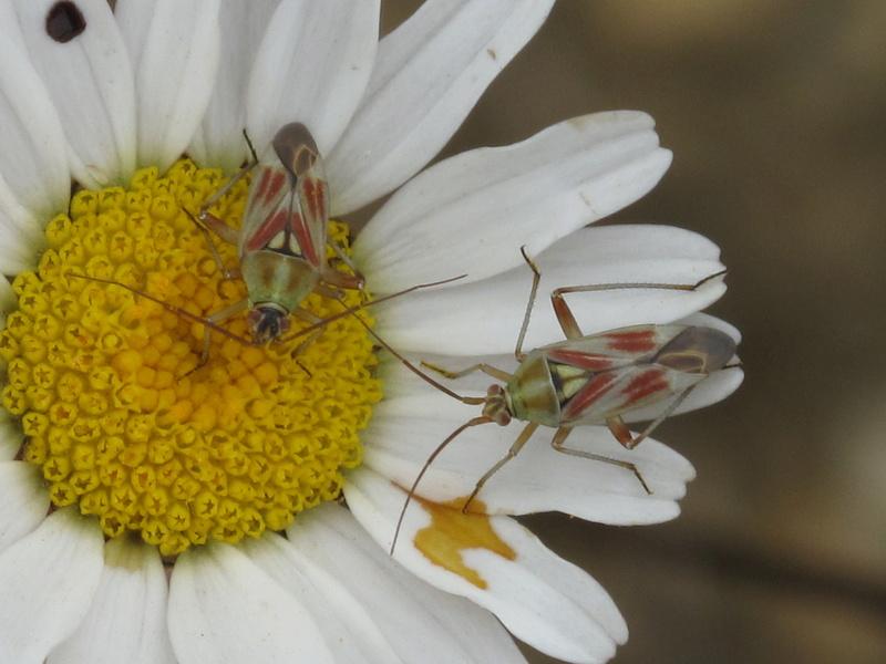 [Calocoris roseomaculatus] belle miridae Img_6012