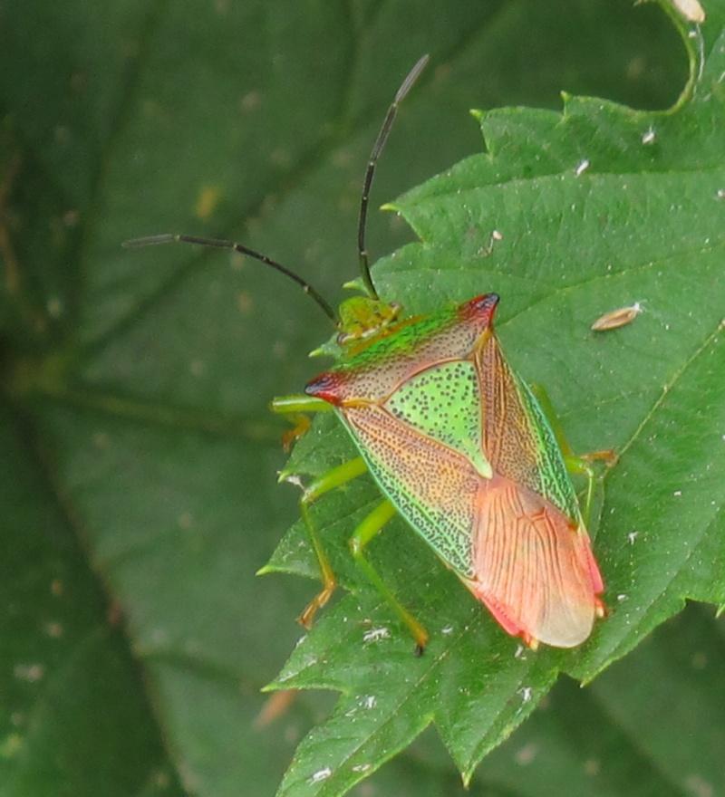 [Acanthosoma haemorrhoidale] pentatomidae 4 Img_7210