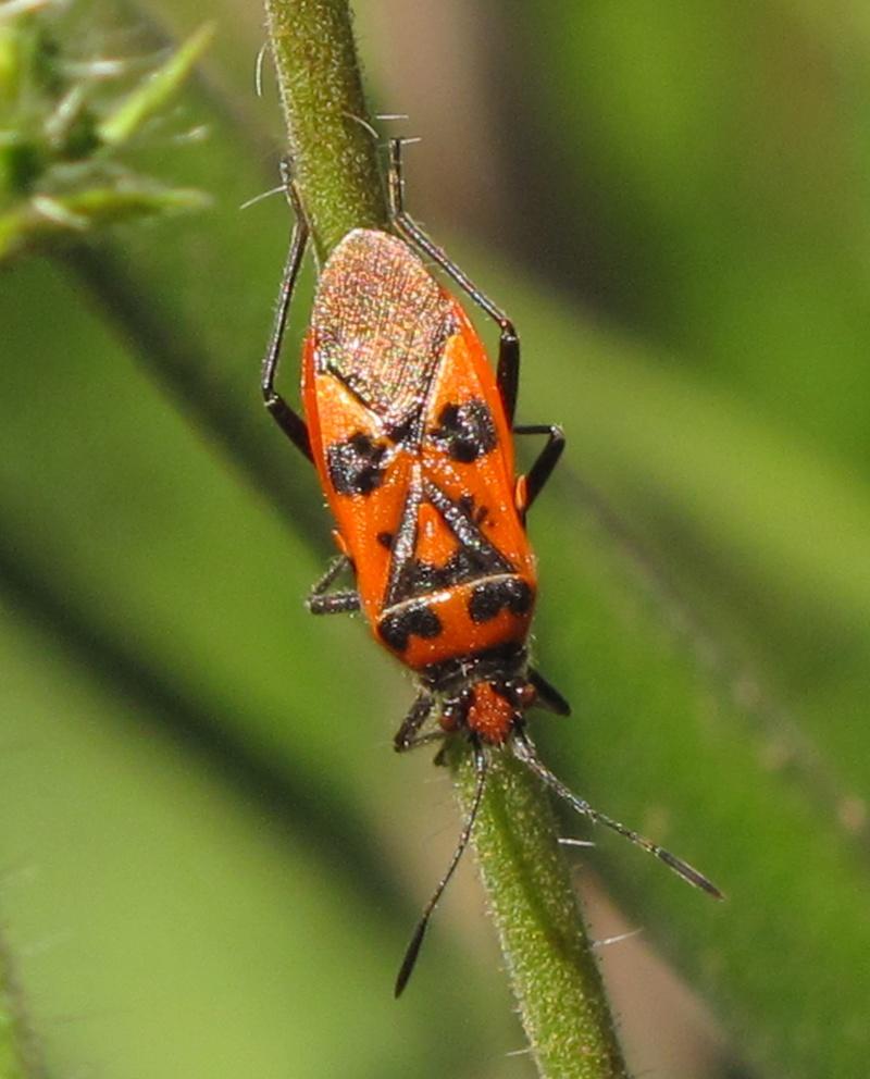 [Corizus hyoscyami_Lyagaeus sp. HORS BZH] Rouges et noires Img_7510