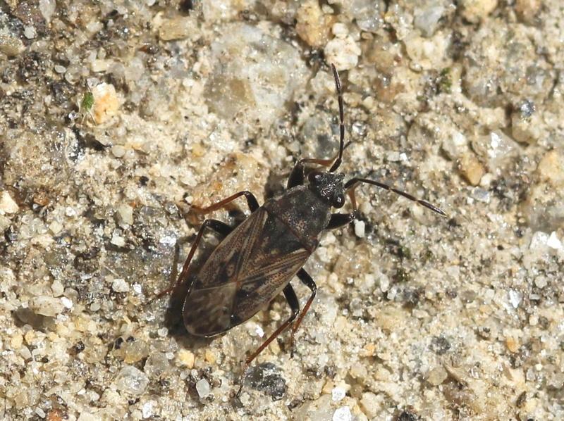 [Peritrechus gracilicornis] Lygaeidae ?? Img_8614