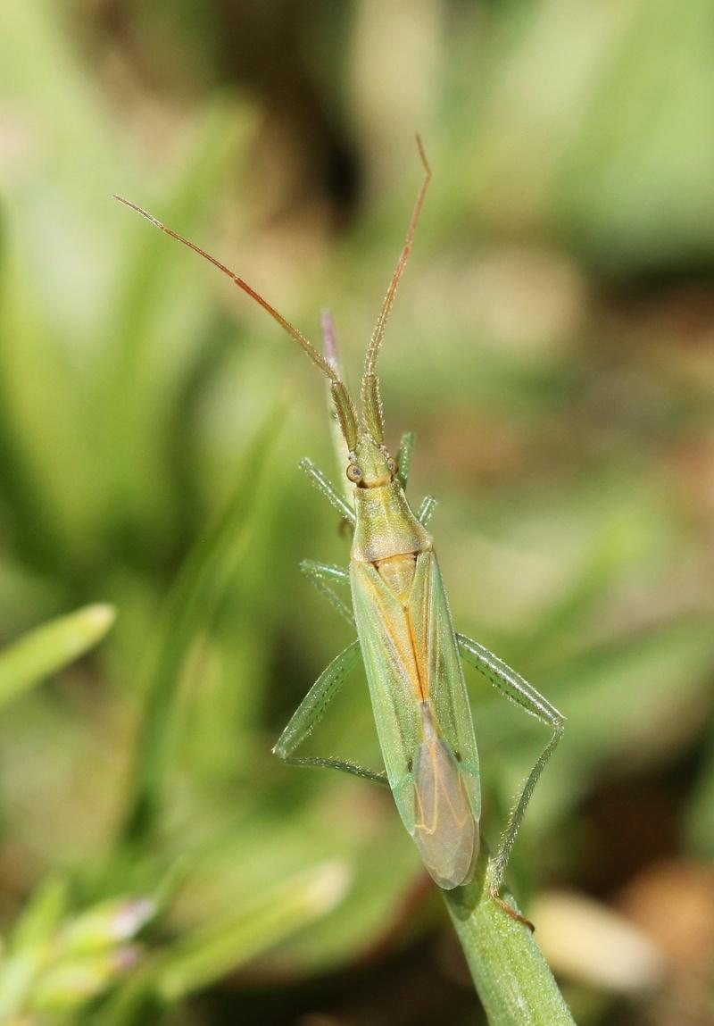 [Stenodema sp.] miridae ? Img_8712