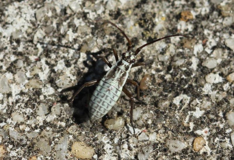 [Leptopterna dolabrata] Une larve ? Img_9010