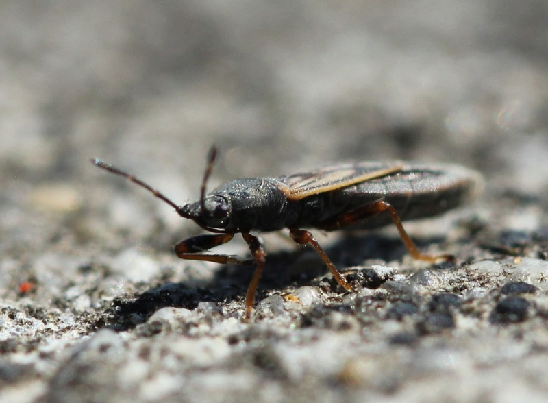 [Ischnodemus sp.] une qui a morflé... Img_9012