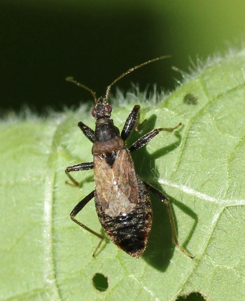 [Himacerus sp.] Himaceris mirmicoides ? Img_9910