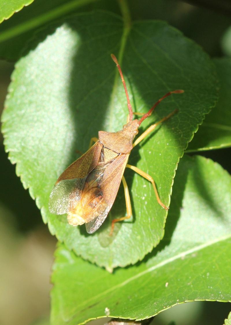 [Gonocerus acuteangulatus] Gonocerus acuteangulatus ? Img_9913