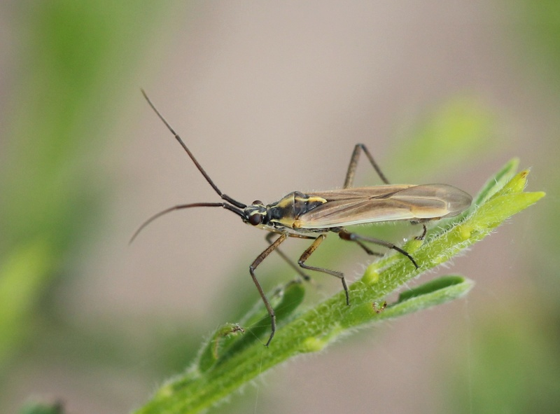 [Leptopterna dolabrata] Jolie larve de miridae ? Leptot11