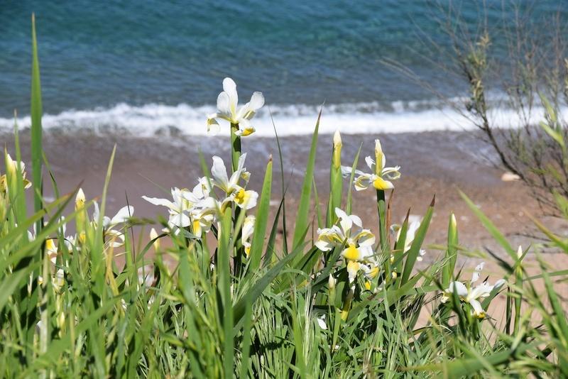 Iris orientalis (= Iris spuria ssp. ochroleuca) - Page 2 Dsc_0214