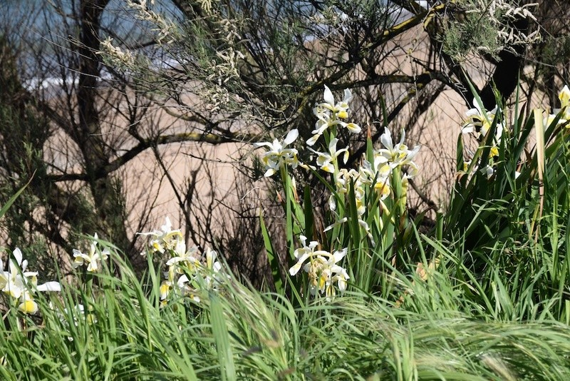 Iris orientalis (= Iris spuria ssp. ochroleuca) - Page 2 Dsc_0216