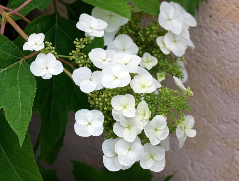 Hydrangea quercifolia Dsc_0425