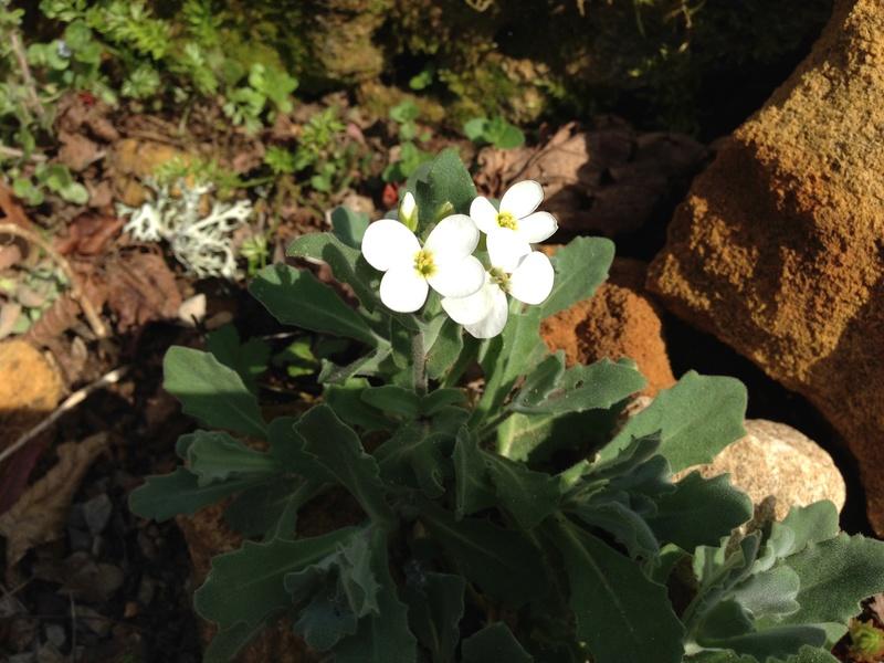 Anemone coronaria, Arabis alpina, Anemone blanda [identification] Img_2514