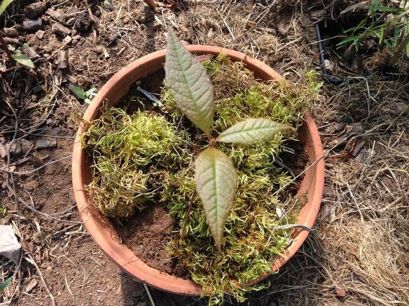 semis de Quercus rysophylla Img_2522