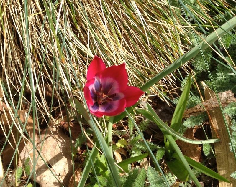 Tulipa - espèces et petits hybrides (sections 12 à 15) - Page 6 Img_2610