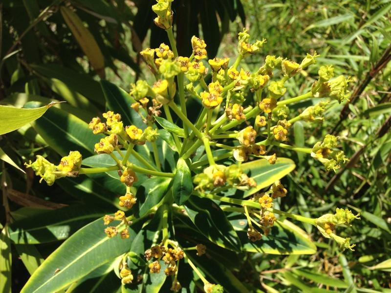 Euphorbia mellifera  - Page 2 Img_2712