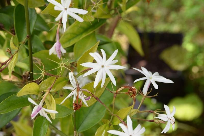 ces quelques fleurs de nos jardins - Page 2 Jasmin10
