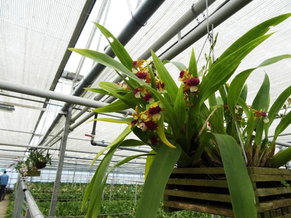 Orchideeën Hoeve - pépinière et jardin d'orchidées 020ser10