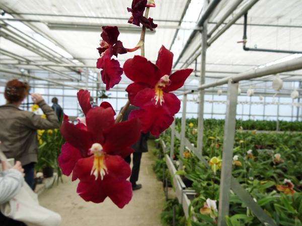 Orchideeën Hoeve - pépinière et jardin d'orchidées 021ser10