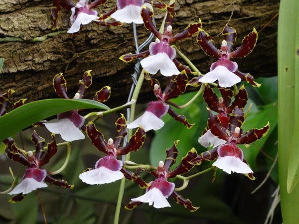 Orchideeën Hoeve - pépinière et jardin d'orchidées 1311