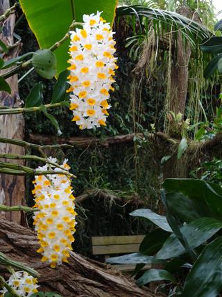 Orchideeën Hoeve - pépinière et jardin d'orchidées 21dend11
