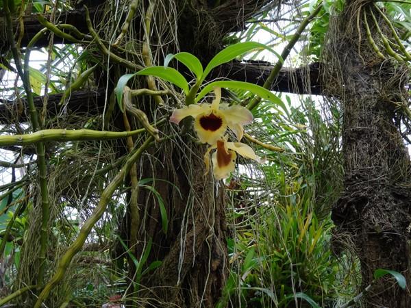Orchideeën Hoeve - pépinière et jardin d'orchidées 26dend13