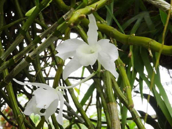Orchideeën Hoeve - pépinière et jardin d'orchidées 3112