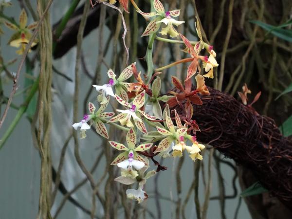 Orchideeën Hoeve - pépinière et jardin d'orchidées 3epide11