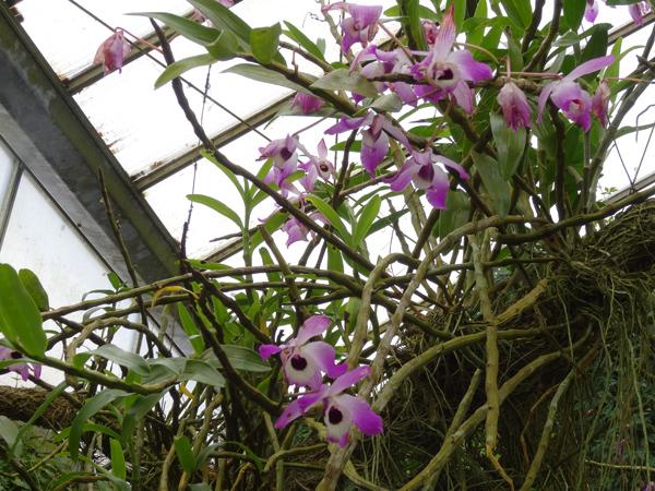 Orchideeën Hoeve - pépinière et jardin d'orchidées 41dend10