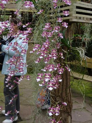Orchideeën Hoeve - pépinière et jardin d'orchidées 5oncid11