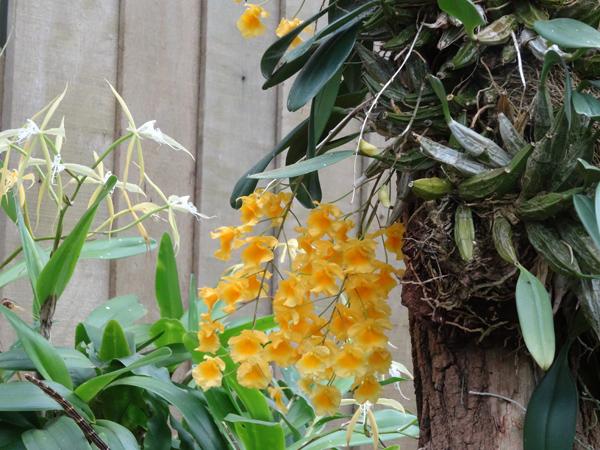 Orchideeën Hoeve - pépinière et jardin d'orchidées 6dendr11