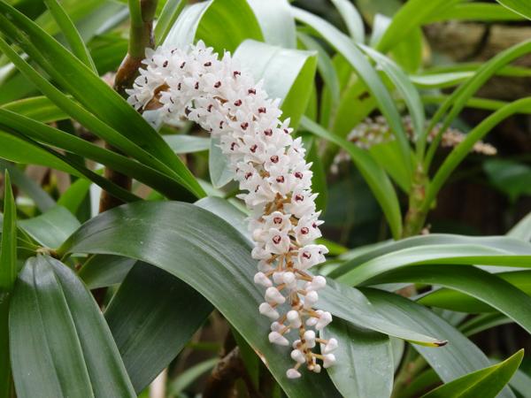 Orchideeën Hoeve - pépinière et jardin d'orchidées 7eria_11