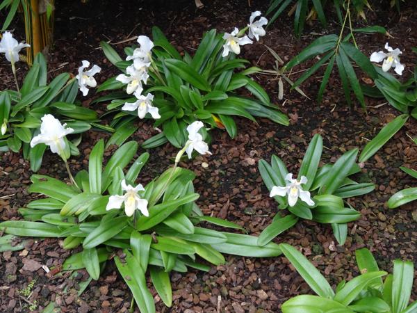Orchideeën Hoeve - pépinière et jardin d'orchidées 8paphi11