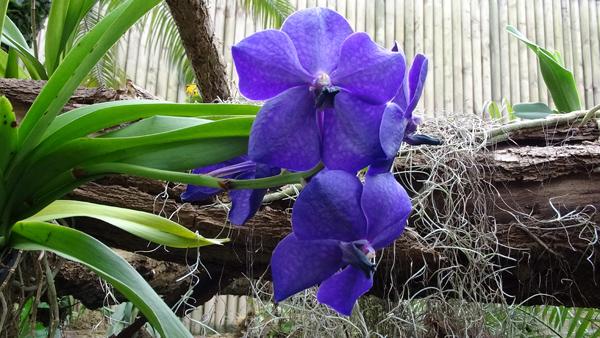 Orchideeën Hoeve - pépinière et jardin d'orchidées A1110