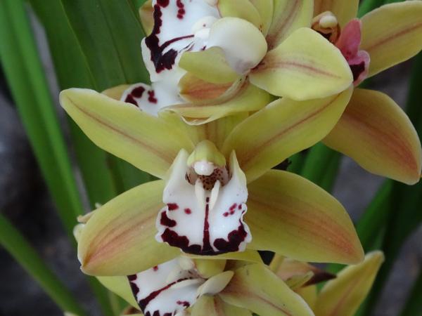 Orchideeën Hoeve - pépinière et jardin d'orchidées A12cym10