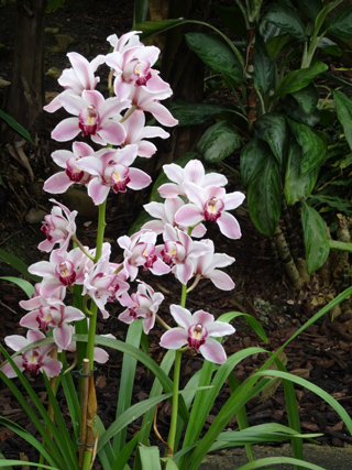 Orchideeën Hoeve - pépinière et jardin d'orchidées A3cymb10