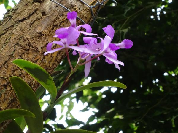 Orchideeën Hoeve - pépinière et jardin d'orchidées A710