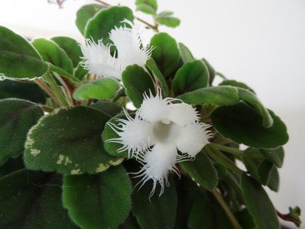 Episcia dianthiflora (= Alsobia dianthiflora) Alsobi11
