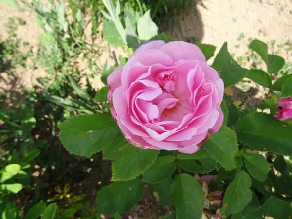ces quelques fleurs de nos jardins - Page 3 Barone10