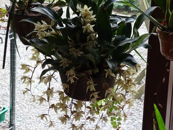 nos plantes parfumées - 2011-2015 - Page 3 Coelog14