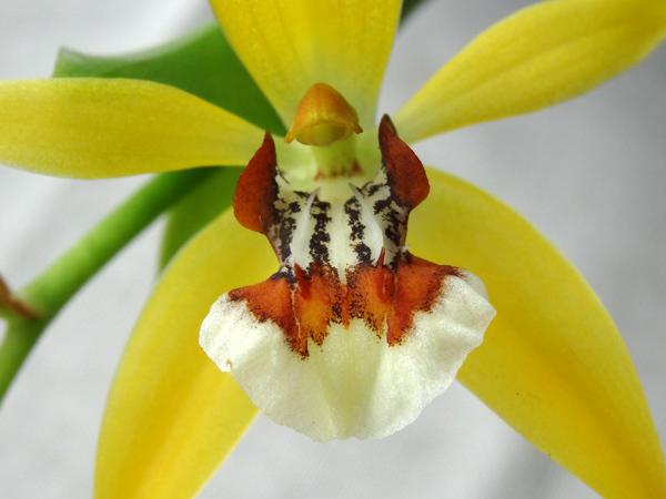 Coelogyne lentiginosa Coelog21