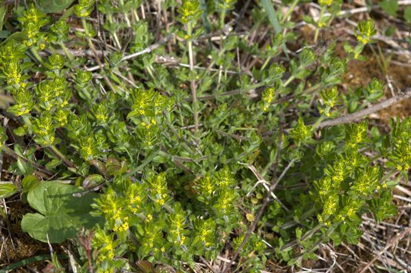Cruciata laevipes (= Galium cruciata) - gaillet croisette  Crucia11