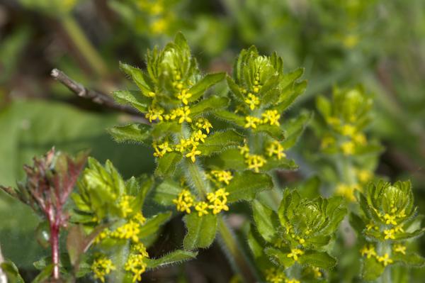 Cruciata laevipes (= Galium cruciata) - gaillet croisette  Crucia12