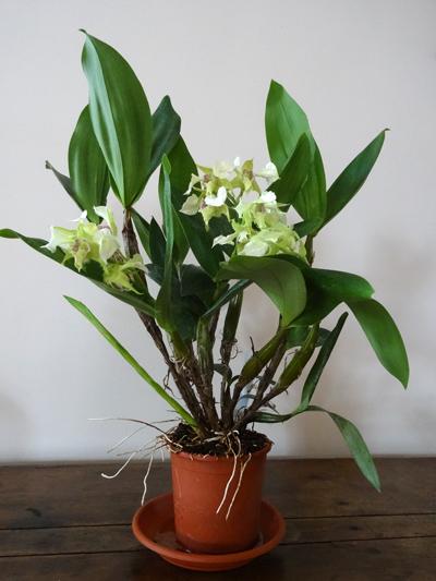 Dendrobium Grand Enchanteur Dendro21