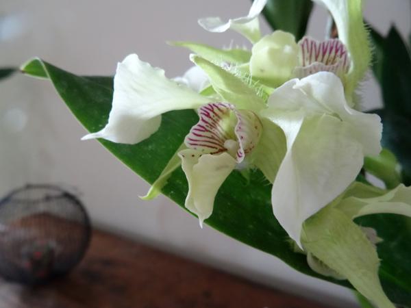 Dendrobium Grand Enchanteur Dendro22