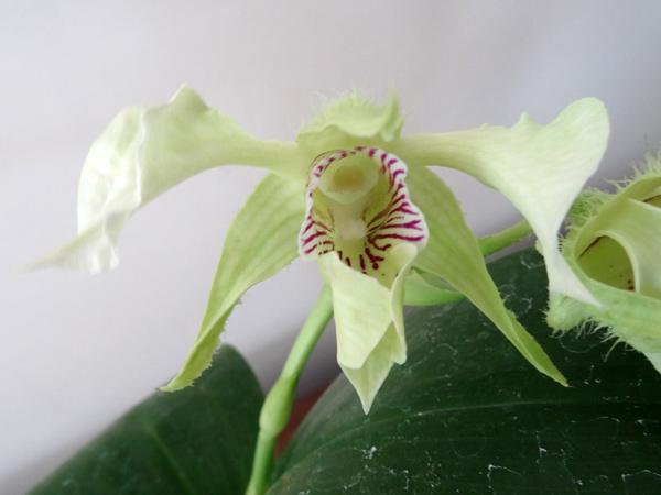 Dendrobium Grand Enchanteur Dendro23