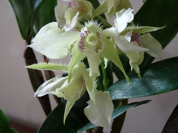 Dendrobium Grand Enchanteur Dendro24