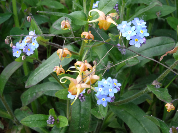 Epimedium - fleur des elfes  Epimed13