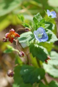 Epimedium - fleur des elfes  Epimed14